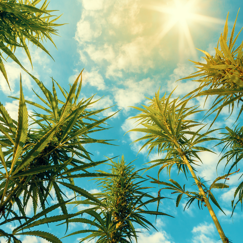 whole plant cannabis entourage effect